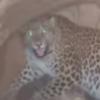 ветеринар спас леопарда