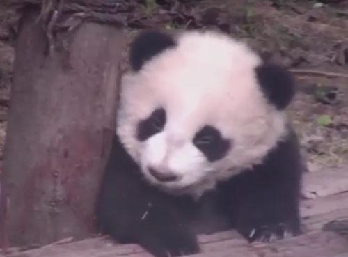 утомлённая панда заснула