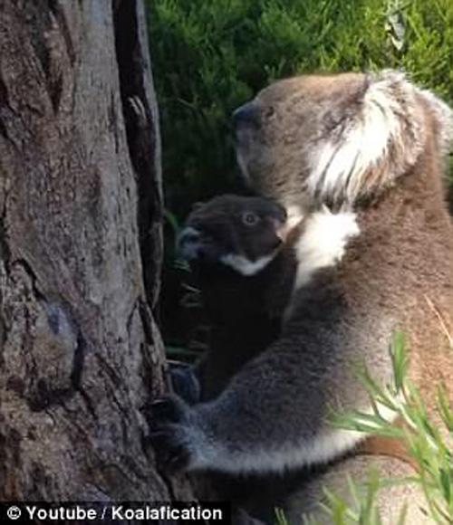 коала воссоединилась с матерью