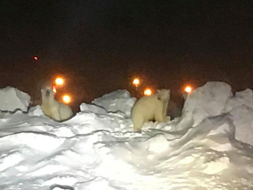 белые медведи в аэропорту