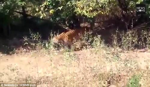 тигр явился на свадьбу