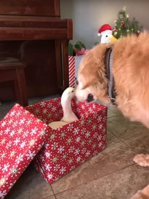 пёс и утка готовятся к рождеству