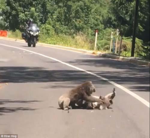 коалы подрались на дороге