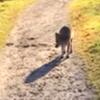 встреча с любопытным волком