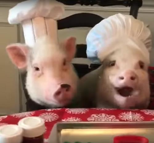 свиньи помогают печь печенье