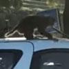 обезьяна совершила акт вандализма
