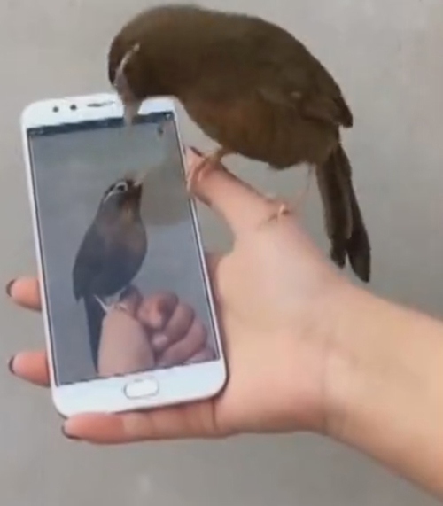 птица не узнала себя на видео