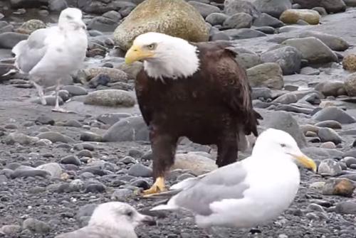 орёл гуляет по побережью