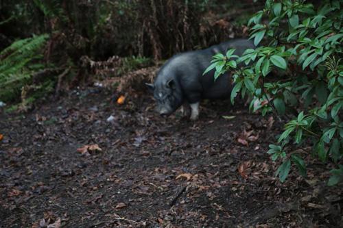 погоня за быстрой свиньёй