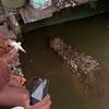 крокодил приплыл за угощением
