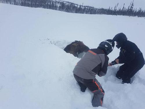 лося откопали из глубокого снега