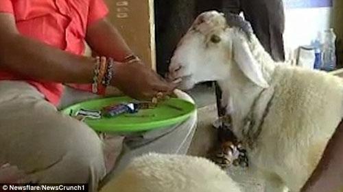 овца любит есть сигареты