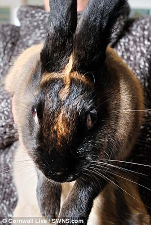 крест на лбу у кролика