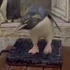 взвешивать пингвинов непросто