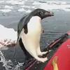 пингвин выпрыгнул из воды