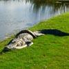 аллигатор подрался с питоном