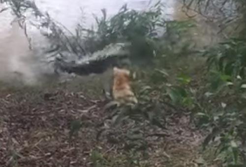 храбрая и глупая собака