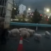 свиньи разбежались из грузовика