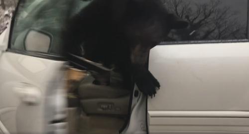 медведь заперся в машине