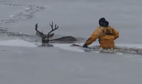 олень решил погулять по льду