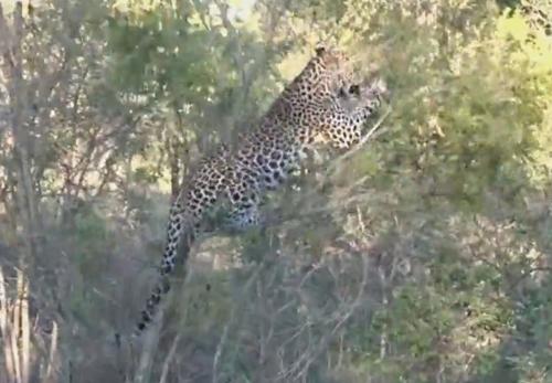 неуклюжий молодой леопард