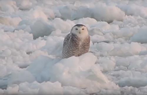 сова качается на плавающем льду
