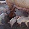 добрая свинья кормит щенка
