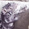 крыса принимает душ