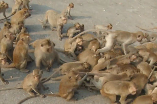 обезьяны заполонили дорогу