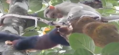 обезьяна мешает чужому обеду