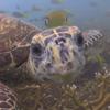 черепаха поцеловала дайвера