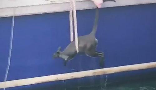 валлаби вытащили из воды