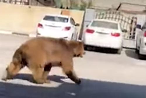 медведь гуляет по улице