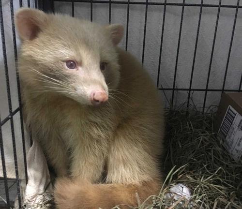 енот-альбинос проходит лечение