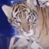 тигрёнок в посылке