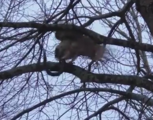 сова решила съесть змею