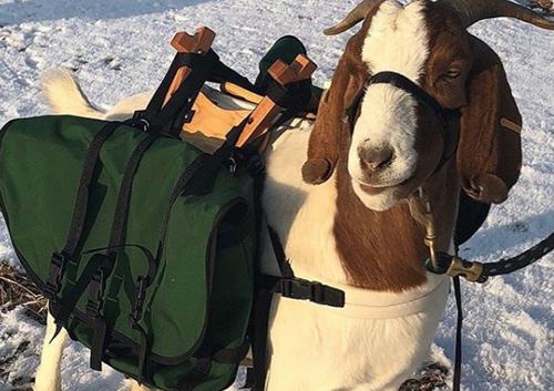 козы в гольф-клубе