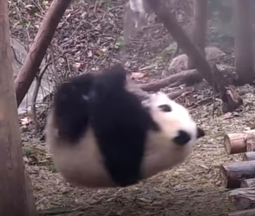 панда с гимнастическими талантами