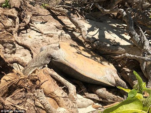 спасение застрявшей черепахи