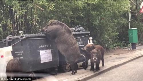 свинья роется в мусорном баке