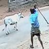 корова напала на детей