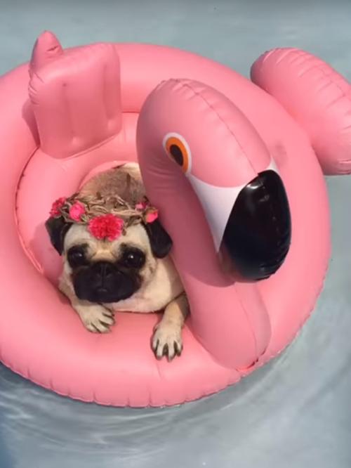 мопс расслабляется в бассейне