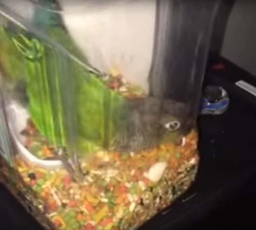попугай устроил сытный обед