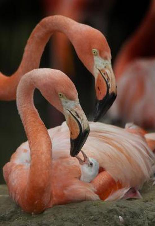 уход за фламинго