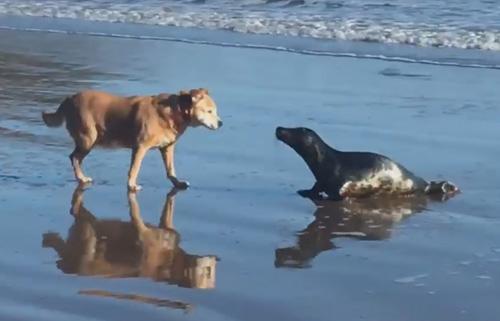тюлень и собака поцеловались