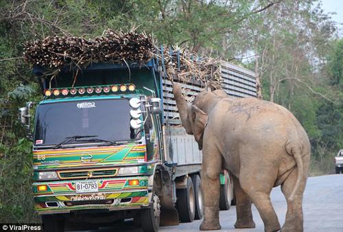 слон вызвал дорожную пробку