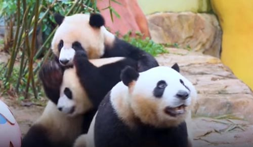 праздничный обед для панд
