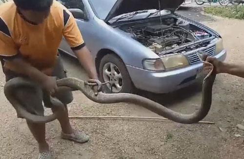 кобра под капотом машины