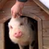 хозяева съели приютскую свинью