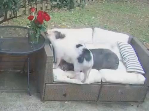 свинья съела цветы